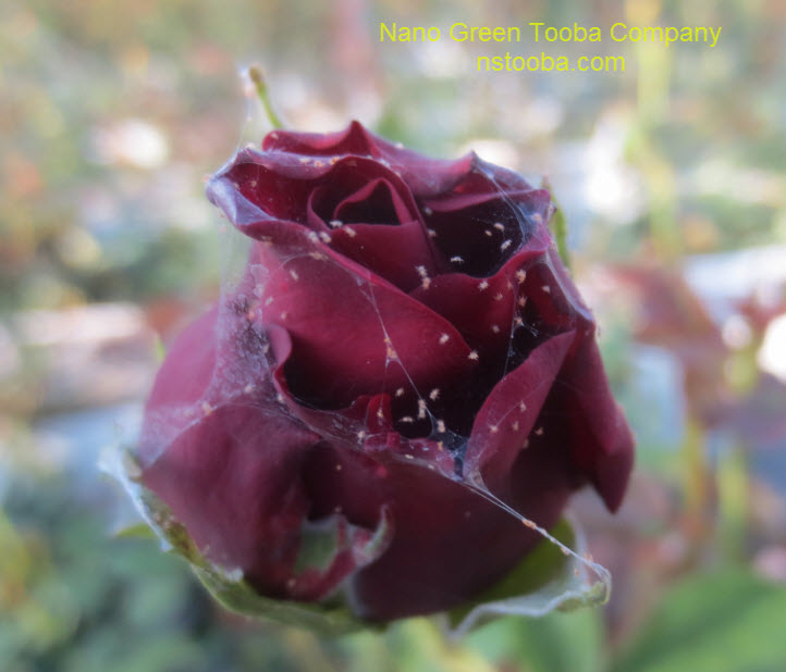 infected rose